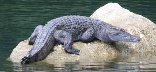 croc_1