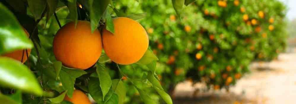 2015-08-13 jaffa-citrusvruchten